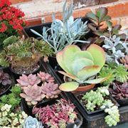 Varietà di piante grasse