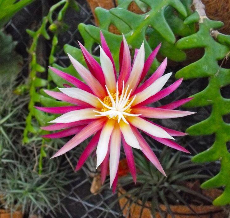 fiore di selenicereus