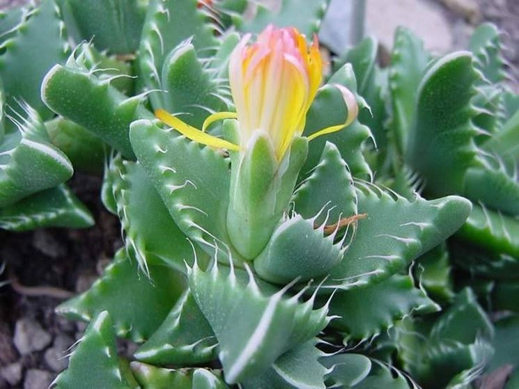 Semi piante grasse piante grasse for Piante rare