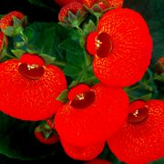 fiore calceolaria