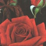 rosa noisettiana