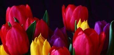foto tulipano