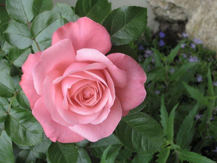 rosa Lawinia