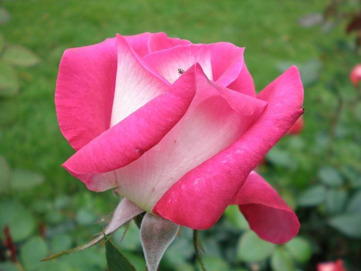 rosa acapella
