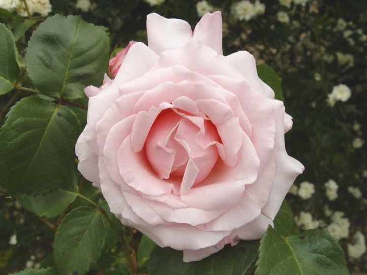 rose anna