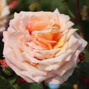 rosa barock