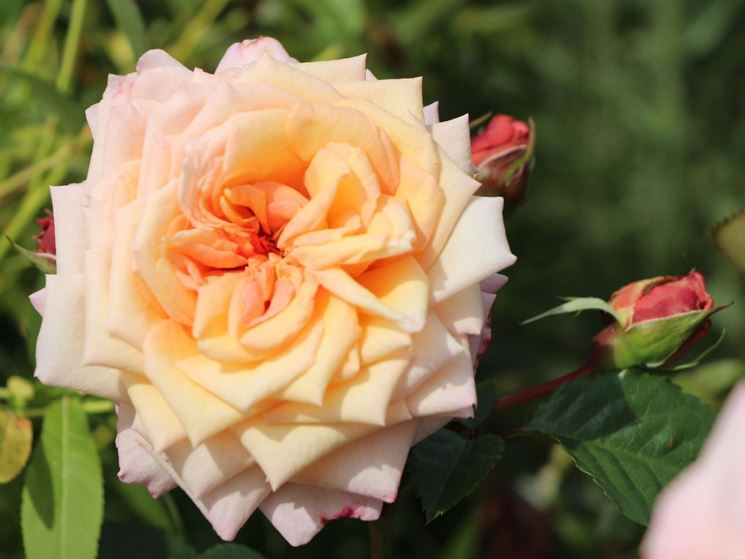 rose barock