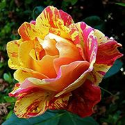 rosa caribia