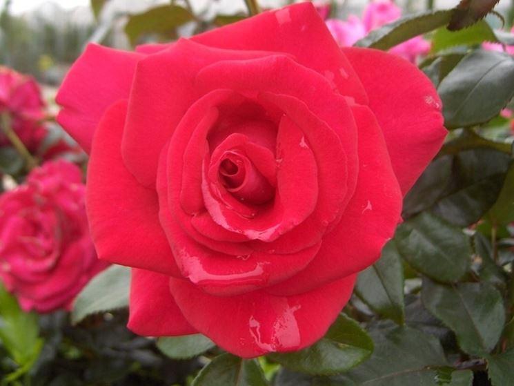 rose commandant cousteau