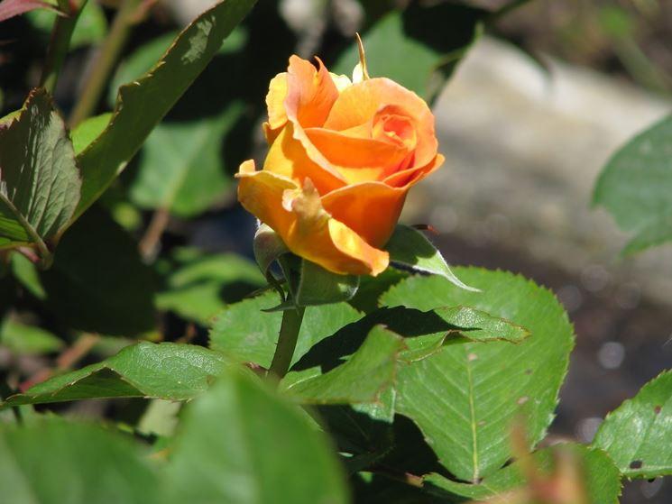 golden monica rose