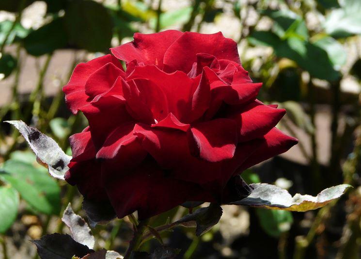 rosa Grand Chateau