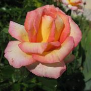 rosa jules verne