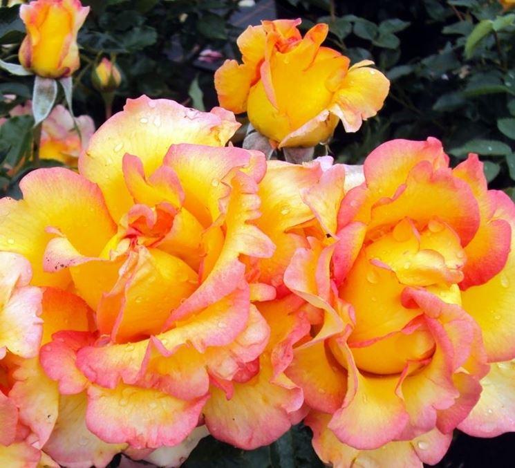rose jules verne