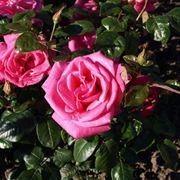 rose lady like