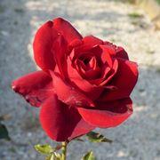 rosa manora