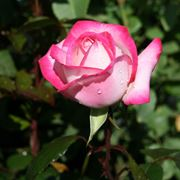 rosa maxim