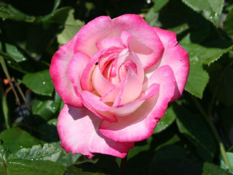 Rose Maxim