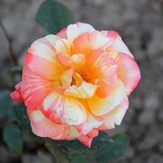 rosa marvelle