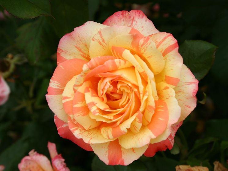 rose marvelle