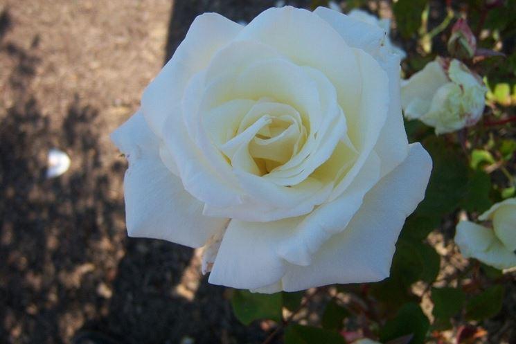 rose michele torr