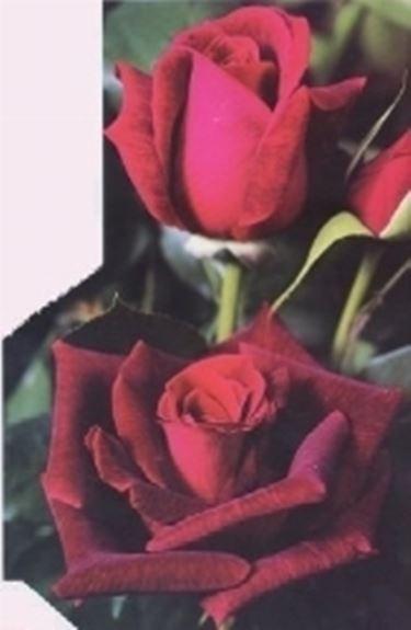 mildred scheel rose mildred scheel rose. Black Bedroom Furniture Sets. Home Design Ideas