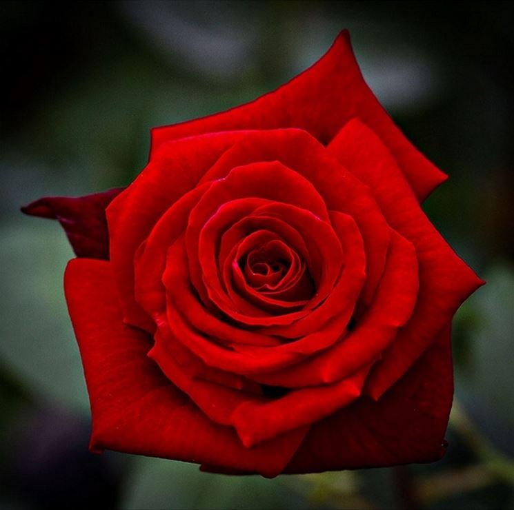 rosa mildred scheel