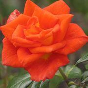 rosa monica