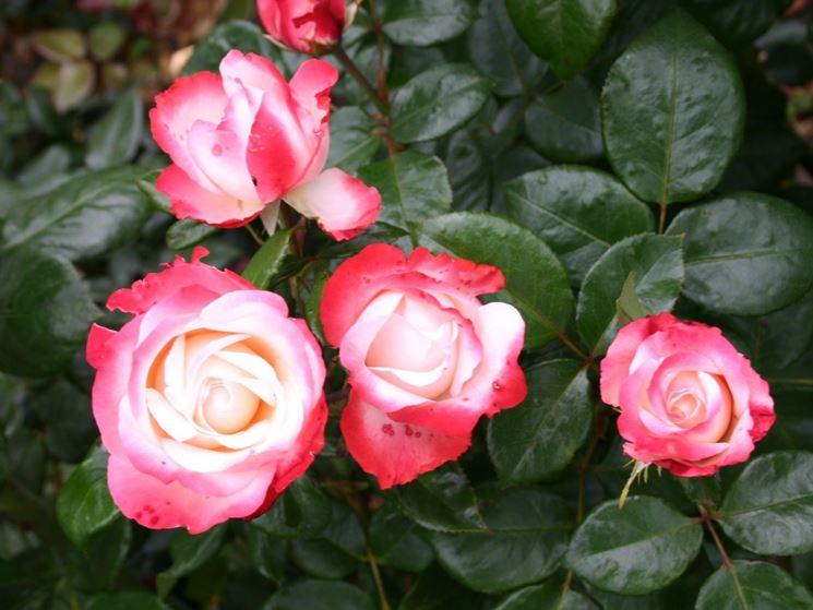 rose nostalgie