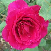 rosa nuit d'orient