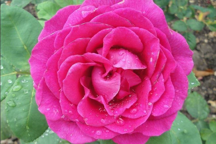 rose nuit d'orient