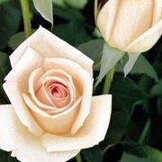 rosa osiana
