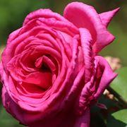 rosa parfume d'armour