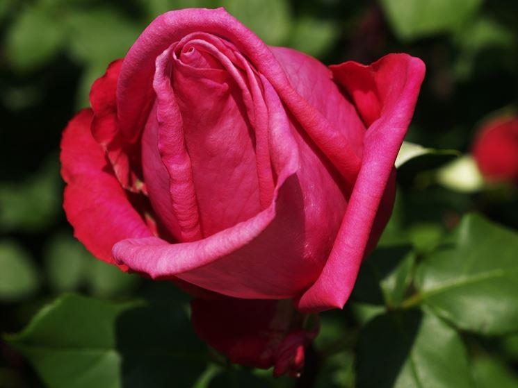 rose parfume d'amour