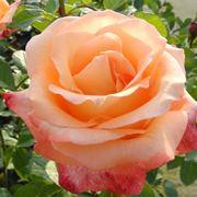 rosa peccato di gioia