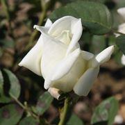 rosa stella polare