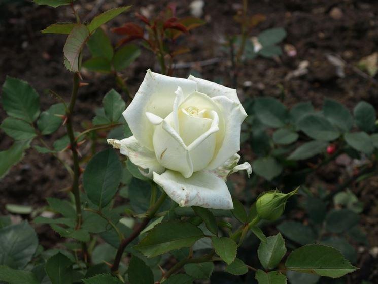 stella polare rosa