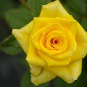 rosa summer gold