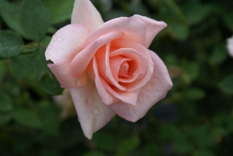 rose summer Lady