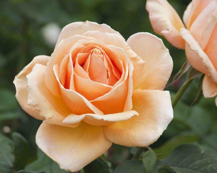 Rose molto profumate