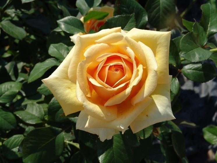 rose valencia