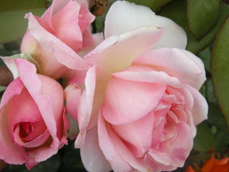 rose violina