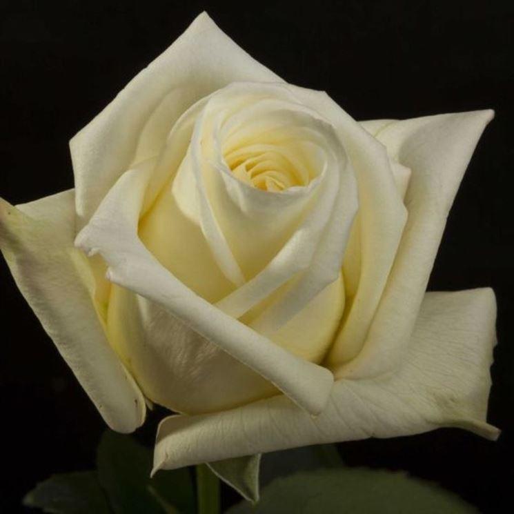 rosa virginia