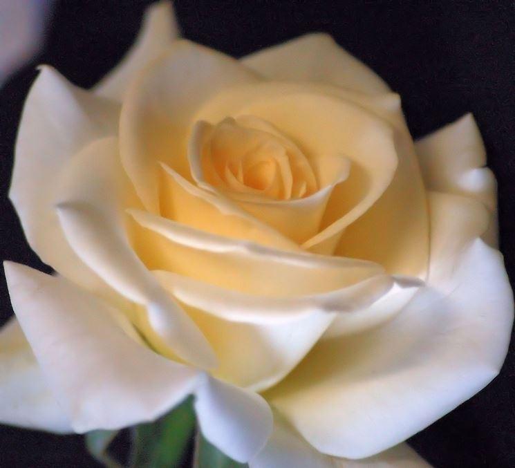 rose virginia