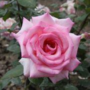 rosa wimi