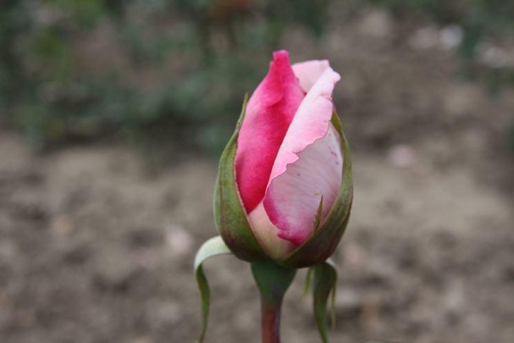 bocciolo rosa wimi