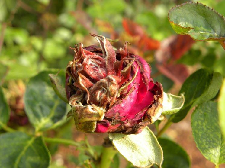 rosa rovinata