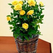 come curare le rose