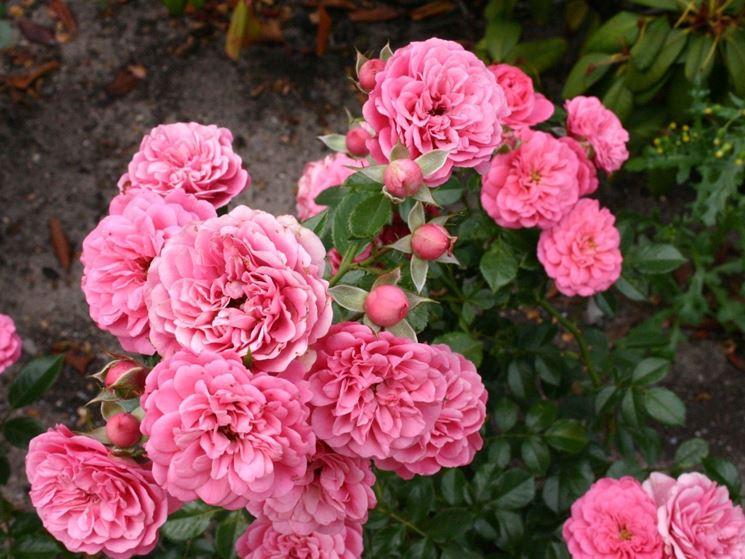 rosa amulett