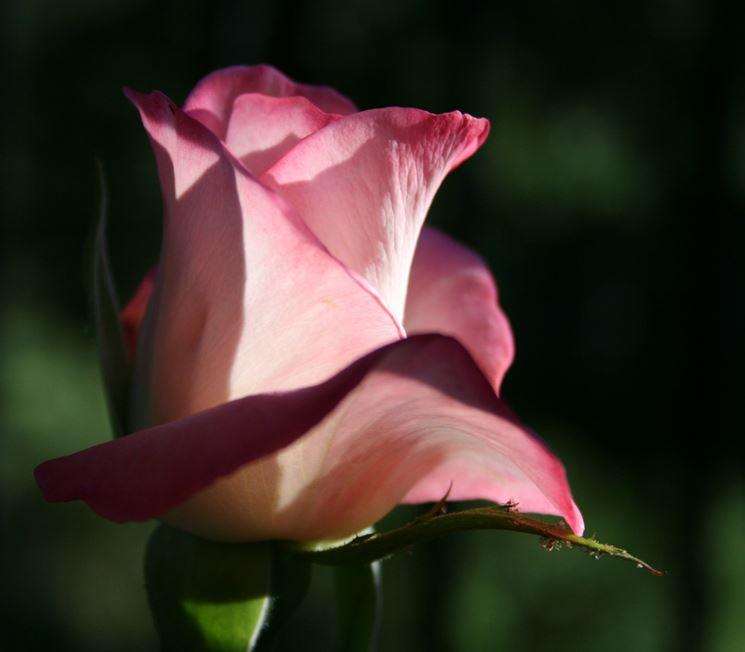 rosa eclipse