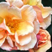 rosa polianta